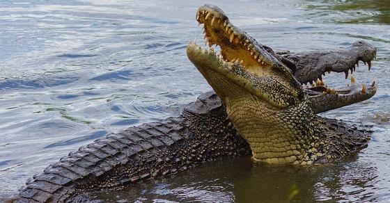 Krokodyle grafika