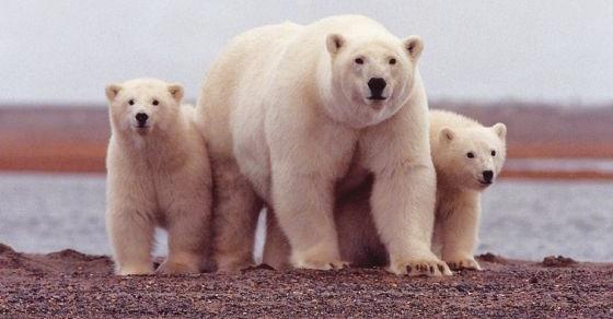 Niedźwiedź polarny grafika